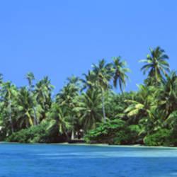 Palm trees on the beach, Kuredu Island, Lhaviyani Atoll, Maldives