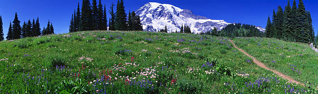 Meadow, Mount Rainier, Washington State, USA
