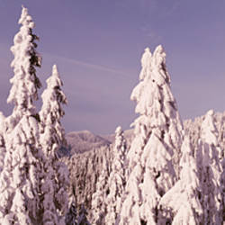 Aerial view of pine trees covered with snow, Grouse Mountain, Vancouver, British Columbia, Canada