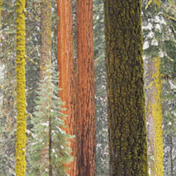 Giant Sequoia, California, USA