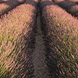 Rows Lavender Field, Pays De Sault Provence, France