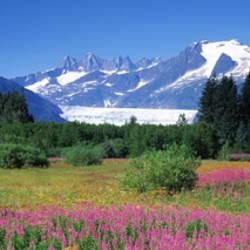 Fireweed, Mendenhall Glacier, Juneau, Alaska, USA