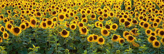 Sunflowers (Helianthus annuus) in a field, Bouches-Du-Rhone, Provence, France