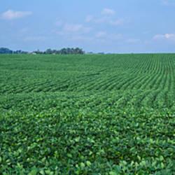 Soybean crop in a field, Tama County, Iowa, USA