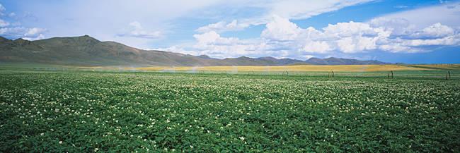 Field of potato crops, Idaho, USA