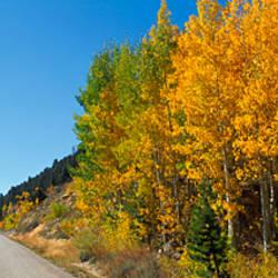 Aspen trees along a road, Rock Creek Road, California, USA