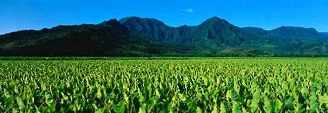 Taro Field Kauai HI USA