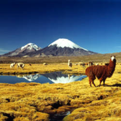 Alpaca (Lama pacos) and Llama (Lama glama) grazing in the field, Lauca National Park, Arica-Parinacota Region, Chile