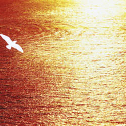 Seagull flying over the ocean at sunset