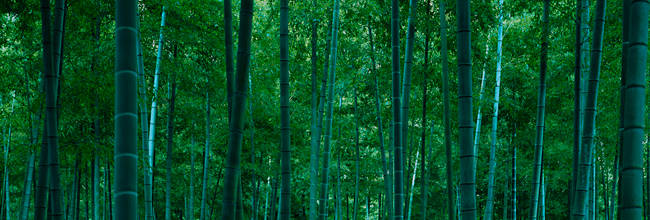 Bamboo trees in a forest, Nagaokakyo, Kyoto Prefecture, Japan