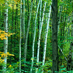 Birch trees in a forest, Ontario, Canada