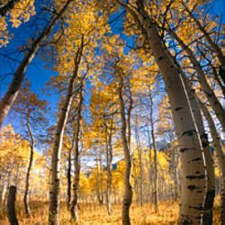 Low angle view of Aspen trees in the forest, Alpine Loop, Colorado, USA