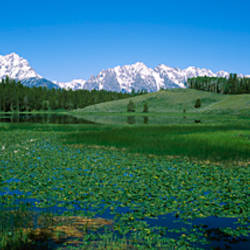 Plants in a marsh with mountains in the background, Grand Teton National Park, Wyoming, USA