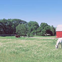 Three horses grazing in a grass field, Kent, Michigan, USA