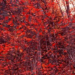 Trees, Big Tooth Maples, West Fork Of Oak Creek, Arizona, USA