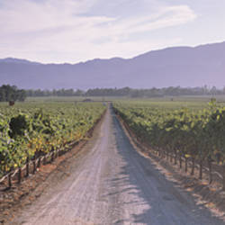 Road through a vineyard, Napa Valley, California, USA