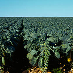 Brussels Sprouts crop in field, Monterey County, California, USA