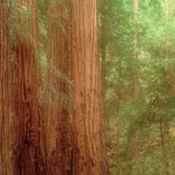 Redwood Trees, Muir Woods, California, USA,