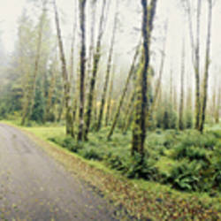Roads in a forest, Queets River Road area, Olympic National Forest, Washington State, USA