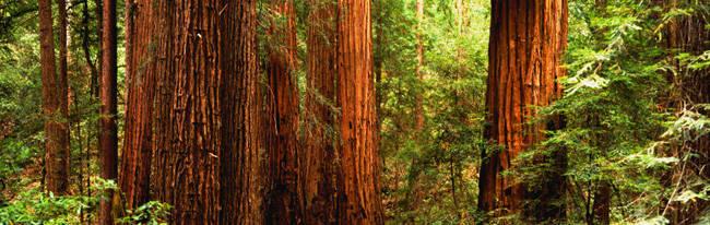 Redwoods Muir Woods CA USA