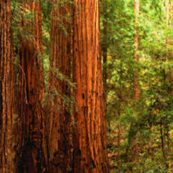 Redwoods Muir Woods CA USA