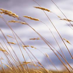 Wheat Stalks Blowing, Crops, Field, Open Space