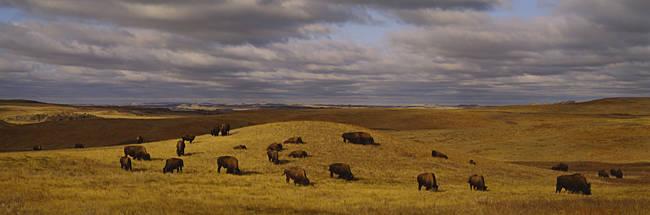 High angle view of buffaloes grazing on a landscape, North Dakota, USA
