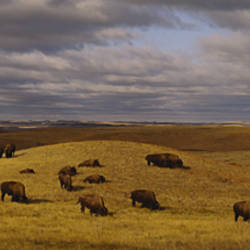 High angle view of buffaloes grazing on a landscape, North Dakota, USA