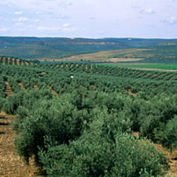 Olive groves in a field, Andalusia, Spain