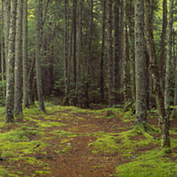 Lush Forest, Acadia National Park, Maine