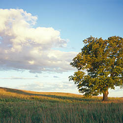 Tree in a field, Vermont, USA