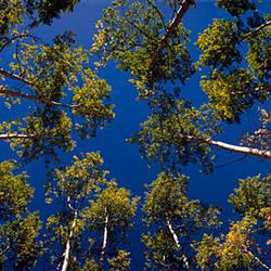 Low angle view of Aspen trees, Aspen, Pitkin County, Colorado, USA