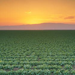 High angle view of a lettuce field at sunset, Fresno, San Joaquin Valley, California, USA