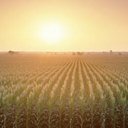 View Of The Corn Field During Sunrise, Sacramento County, California, USA