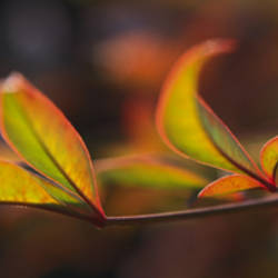 Sacred Bamboo- Autumn leaves (Nandina Domestica)