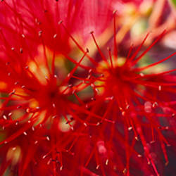 Close-up of a Bottlebrush flower (Callistemon), Sacramento, California, USA