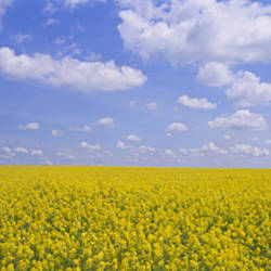 Field of canola plants, Cardston, Alberta, Canada