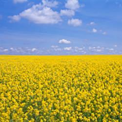 Canola field, Cardston, Alberta, Canada