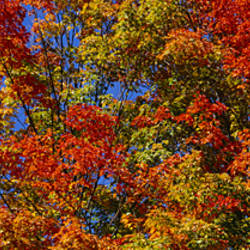 Close-up of trees, Adirondack Mountains, Hamilton County, New York State, USA