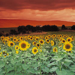 Sunflowers, Corbada, Spain