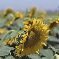 USA, California, Central Valley, Field of sunflowers