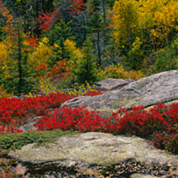 Flowers on rocks, Acadia National Park, Maine, USA