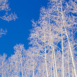 Low angle view of American aspen trees in the forest, Utah, USA (Populus tremuloides)