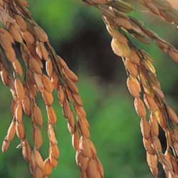 Rice Sacramento CA USA