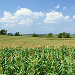 Corn Crop In A Field, Wyoming County, New York State, USA