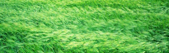 Wheat Field Prince Edward Island Canada