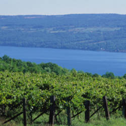 USA, New York, Finger Lakes, Vineyard