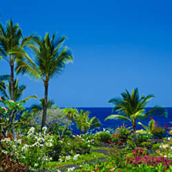 Palm trees in a garden, Tropical Garden, Kona, Hawaii, USA