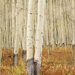 Aspen trees in the forest, Aspen, Colorado, USA