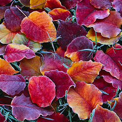 Close-up of fallen leaves, Sacramento, California, USA